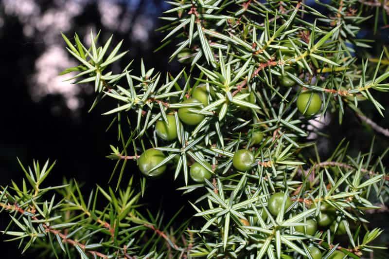 Semillas autoctonas Juniperus Oxycedrus