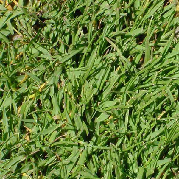 Detalle semillas paspalum vaginatum