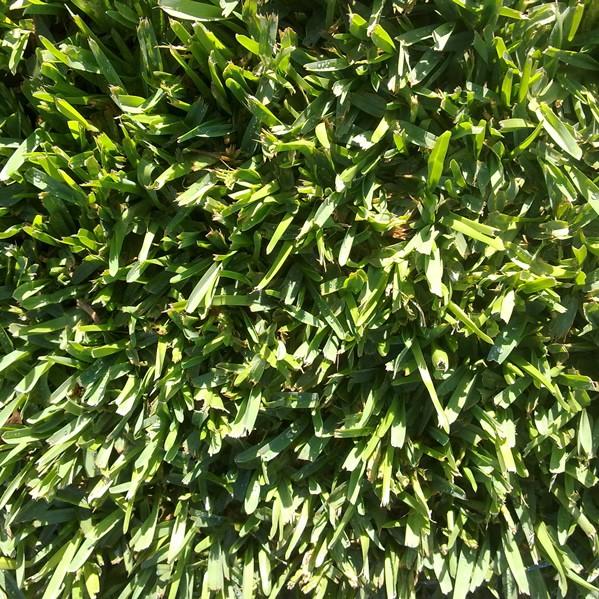 detalle-semillas-pennisetum-clandestinum