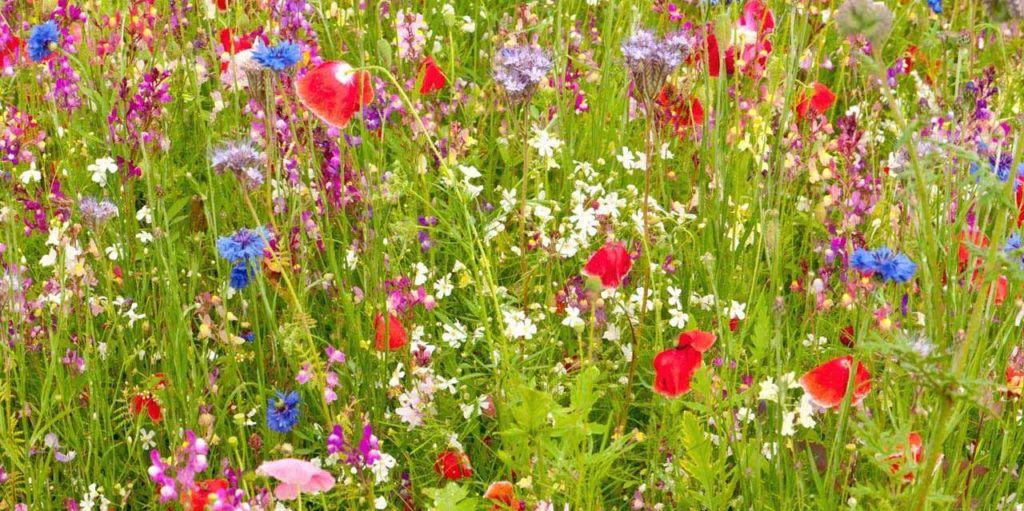 wildflowers_zulueta