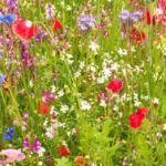 Praderas con flores silvestres. Islas ecológicas.
