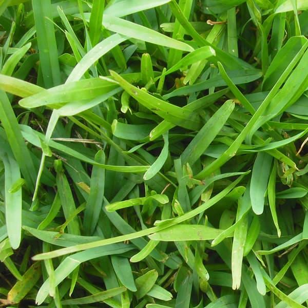 Detalle buchloe dactyloides buffalo grass