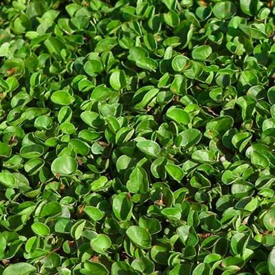 tepe-zulueta-dichondra-repens