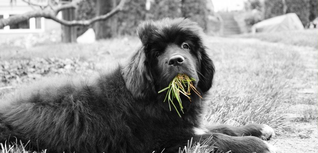 perro_comer_cesped