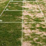 El Ray grass inglés para césped sostenible. Los nuevos Tetraploides