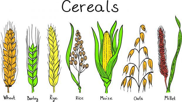 gramíneas-cereales