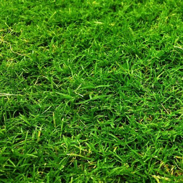 cynodon-dactylon-bermuda-grass-circulo