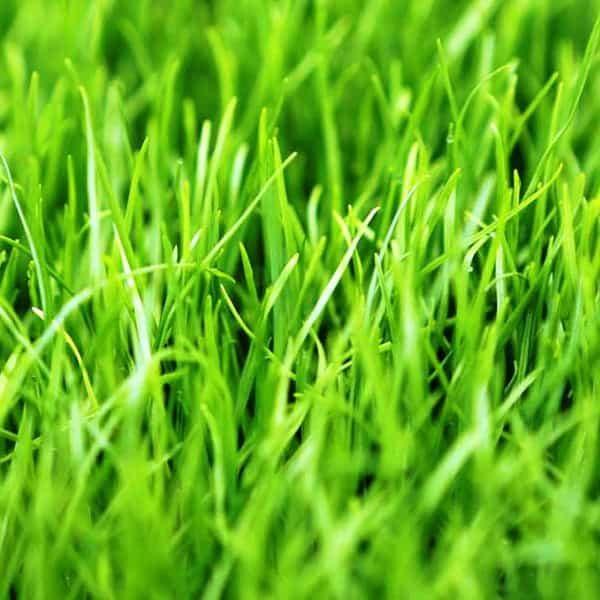 ray-grass-anual-circulo
