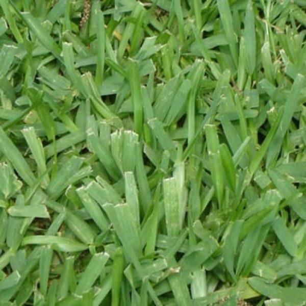 semillas-stenotaprhum-secundatum